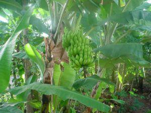 banan_growing